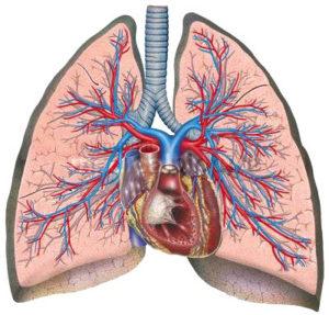 A tüdő és a szív
