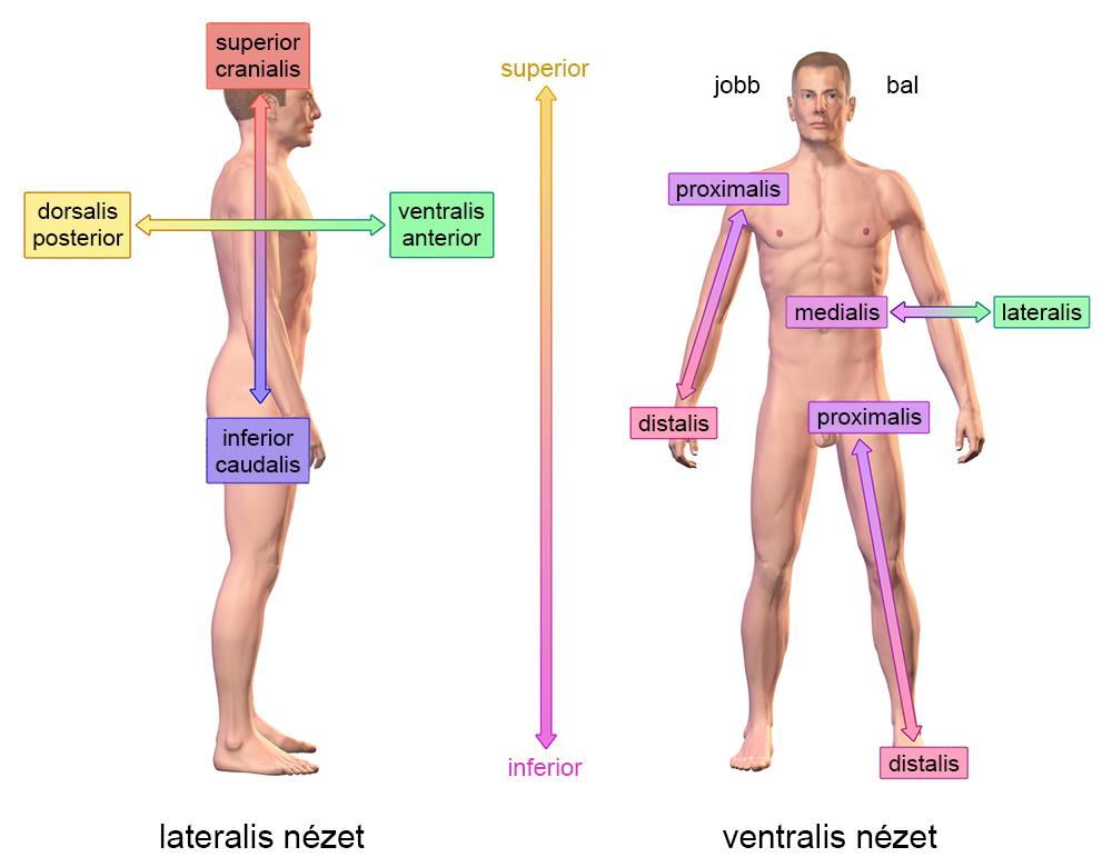 az anatómiában használatos irányok