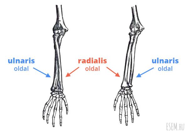az ulnaris és a radialis oldal