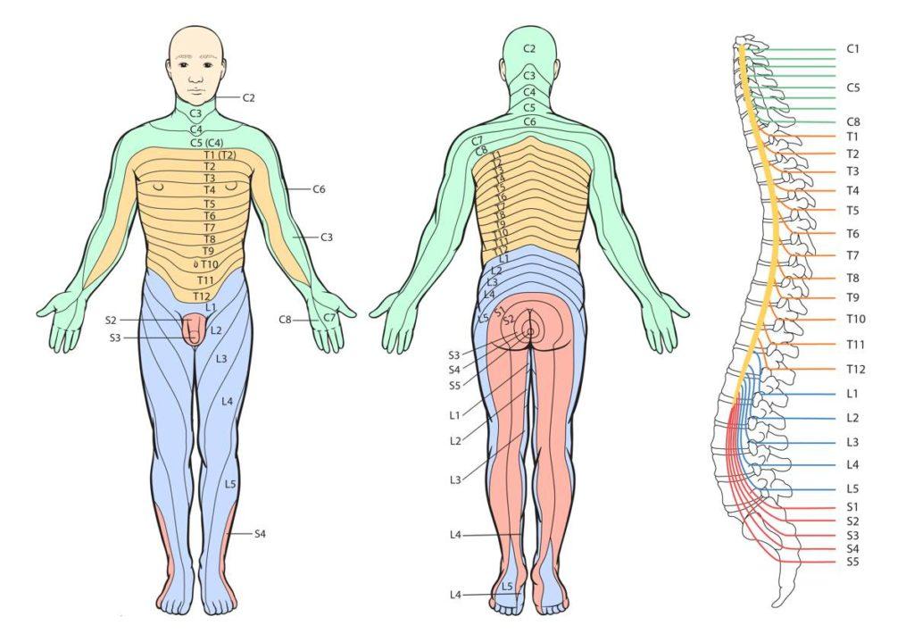 dermatóma-térkép