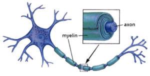 axont borító myelinhüvely