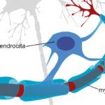 Szőrtüsző-őssejtek az idegsejtek védelmében?