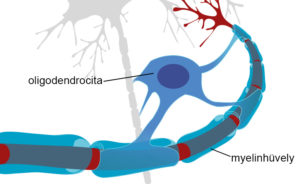 myelinhüvelyt építő oligodendrocita sejt