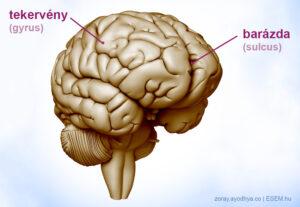 agytekervények és barázdák